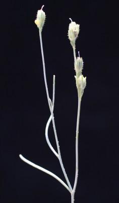 פשתנית אשקלון Linaria tenuis (Viv.) Spreng.