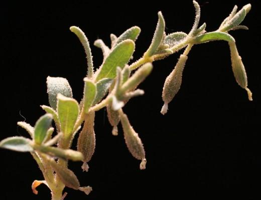 ציפורנית החולות Silene villosa Forssk.