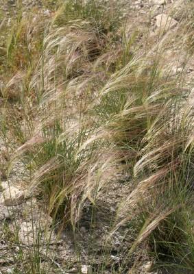 Stipa parviflora Desf.