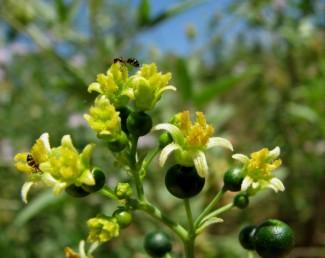 צמח נקבי בעל שחלה תחתית, בין עלי הכותרת הצהובים 5 סטמינודים (אבקנים מנוונים).