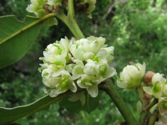 ער אציל Laurus nobilis L.