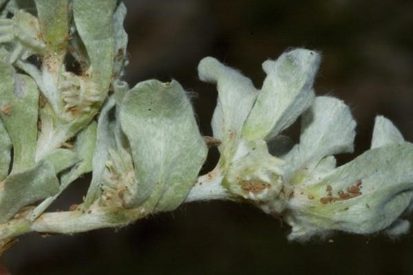 כתנן שרוע Micropus supinus L.