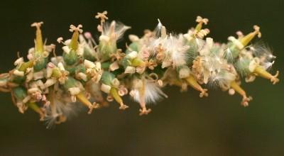 כל פרחי האשכול בעלי 4 עמודי-עלי.