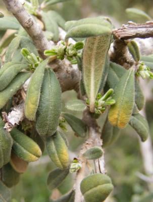אשחר מנוקד Rhamnus punctata Boiss.