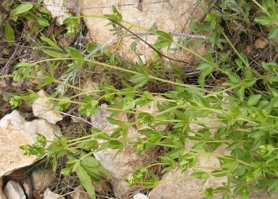 Asperula libanotica Boiss.
