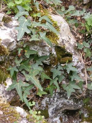 קיסוס החורש Hedera helix L.