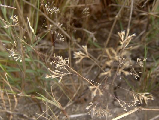 Sphenopus divaricatus (Gouan) Rchb.