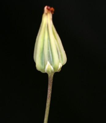 ניסנית ארץ-ישראלית Crepis palaestina (Boiss.) Bornm.