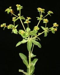 צמחים שעירים פחות או יותר, העלים משוננים כמשור.