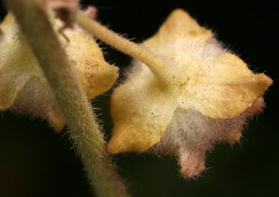 מעוג כרתי Lavatera cretica L.
