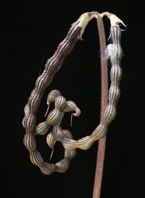 זנב-עקרב שיכני Scorpiurus muricatus L.