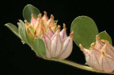 עשבים חד-שנתיים שרועים, שעירים. העלים מורכבים-מנוצים, בעלי 5-1 עלעלים. הגביע שעיר, צינורו משתלחף לאחר ההפריה.