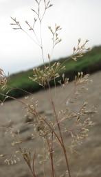 עשב חד-שנתי, התפרחת מכבד רפה, ענפיו נימיים, ערוכים שניים-שניים על כל מפרק של ציר המכבד; השיבוליות בנות 5-2  פרחים.