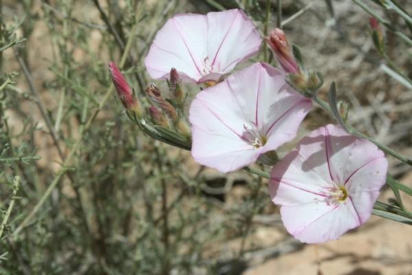 חבלבל זיתני Convolvulus oleifolius Desr.