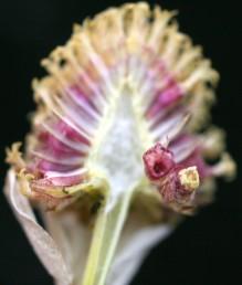 מצעית הקרקפות חרוטית; ראש הזירעון בעל אוזנית קצרה.