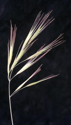 Bromus madritensis L.