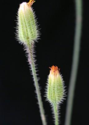 היפוכריס נדיר Hypochaeris achyrophorus L.