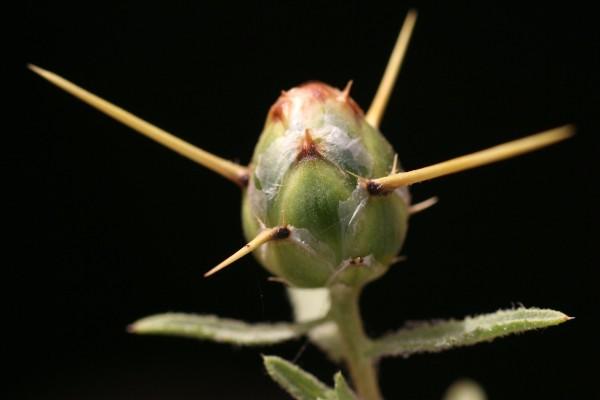 דרדר קרומי Centaurea hyalolepis Boiss.