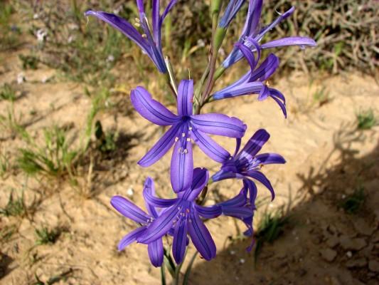 Ixiolirion tataricum (Pall.) Herbert