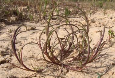 עשב חד-שנתי. השיבולים כפופות באופן ברור. המאבקים נשארים חבויים בעת הפריחה.