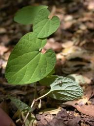 מטפסים, 3. העלים מעוגלים בראשם (24644), הפטוטרת ארוכה מעוקץ הפרח, העטיף סגול.