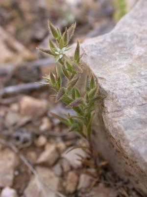 צללית החורש Minuartia globulosa (Labill.) Schinz & Thell.