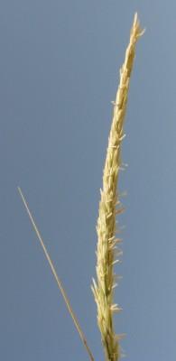 ידיד-חולות מצוי Ammophila arenaria (L.) Link