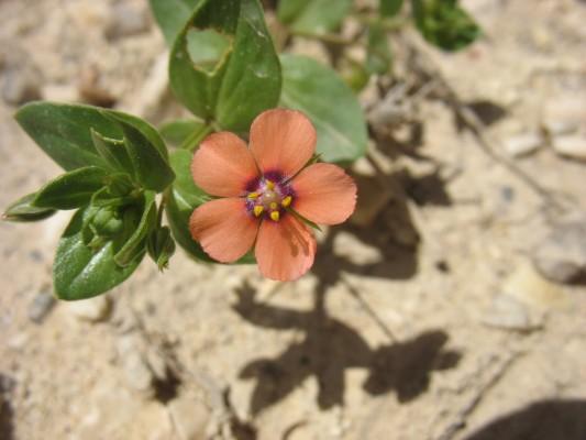 מרגנית השדה Anagallis arvensis L.