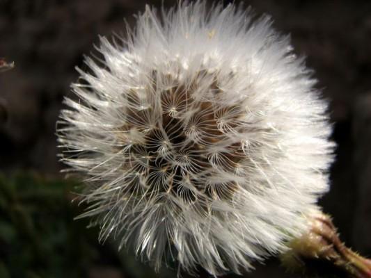 אזנב מצוי Urospermum picroides (L.) F.W.Schmidt