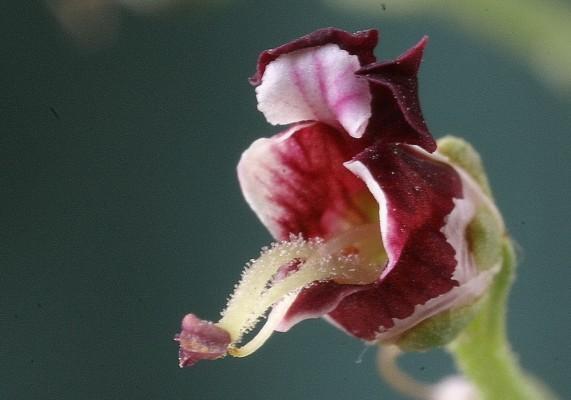 Scrophularia xanthoglossa Boiss.