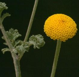 עשבים רב-שנתיים עם תפרחות כדוריות חסרות פרחים הנישאות יחיקות בקצות הגבעולים