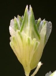 החלק התחתון בעל פרחים מנוונים כדי קשקשים קשים. בכל יחידת הפצה מלווים הקשקשים שיבולית פורה בעלת זוג כנפים דמויות שן.