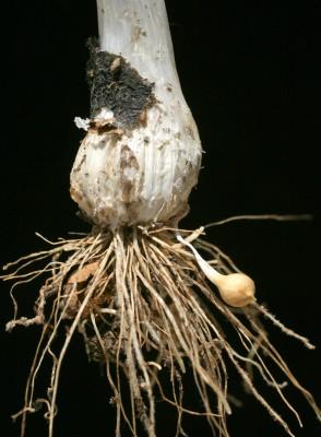 שום גבוה Allium ampeloprasum L.