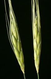 צמחים חד-שנתיים זקופים, התפרחת שיבולת עם שיבוליות יחידות על מפרקי ציר השיבולת השביר. הגלומות בעלות קרין ו-2 שיניים.