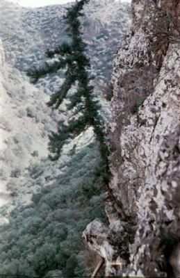 ברוש מצוי Cupressus sempervirens L.