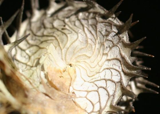 אספסת הגליל Medicago granadensis Willd.