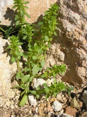 חגווית שעירה Valantia hispida L.