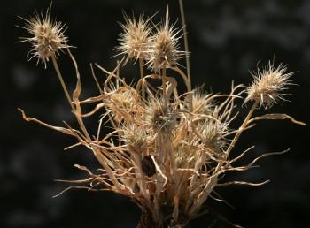 עשב חד-שנתי נמוך. התפרחת מכבד צפוף דמוי קרקפת, דוקרני. המוץ התחתון גלדני, בעל 7-3 אונות או מלענים דוקרניים.
