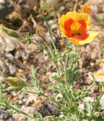 Glaucium leiocarpum Boiss.