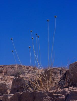 Allium dictyoprasum C.A.Mey. ex Kunth