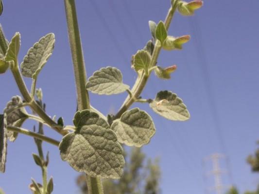 קערורית סגולה Scutellaria brevibracteata Stapf.