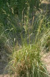 עשב רב-שנתי בעל מכבד מבודר. גדל בביצות, גדות נחלים ובקרבת מעיינות של מים מתוקים.
