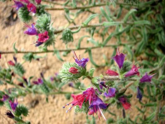 Echium angustifolium Mill.