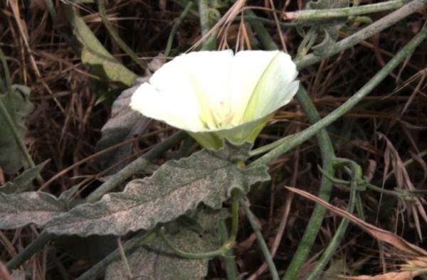 חבלבל ארץ-ישראלי Convolvulus palaestinus Boiss.