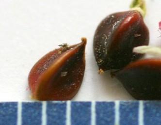 הפרי בעל שלוש צלעות שבכל אחת שקע לאורכה.