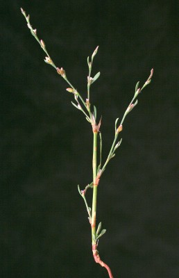 Polygonum bellardii All.