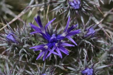 צבע הפרחים כחול עמוק.