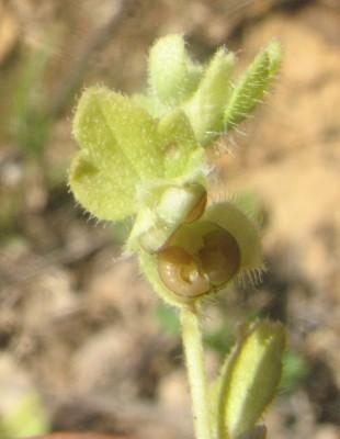 ורוניקה קיסוסית Veronica hederifolia L.