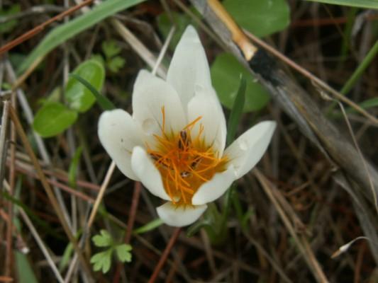 כרכום חורפי Crocus hyemalis Boiss. & Blanche
