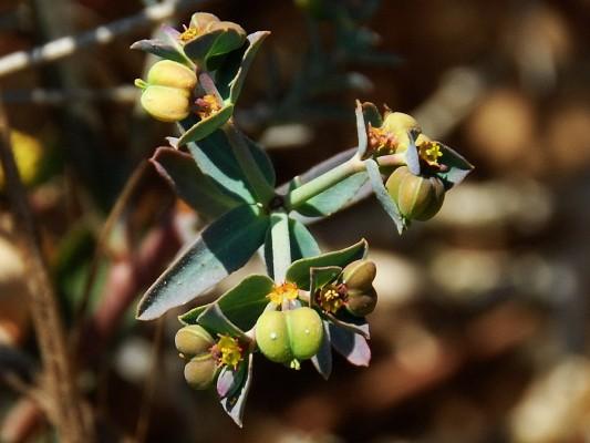 חלבלוב החוף Euphorbia terracina L.